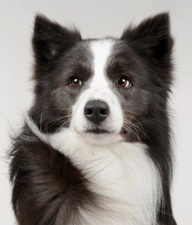 Souls of Harmony Border Collies_Blue