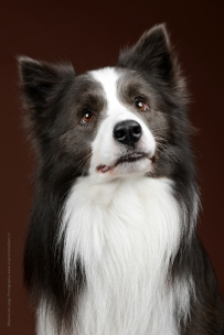 Souls of Harmony Border Collies